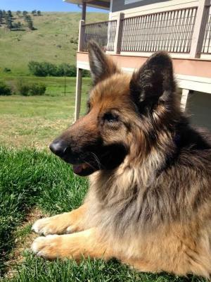 German Shepherd Rescue of the Rockies - Champ